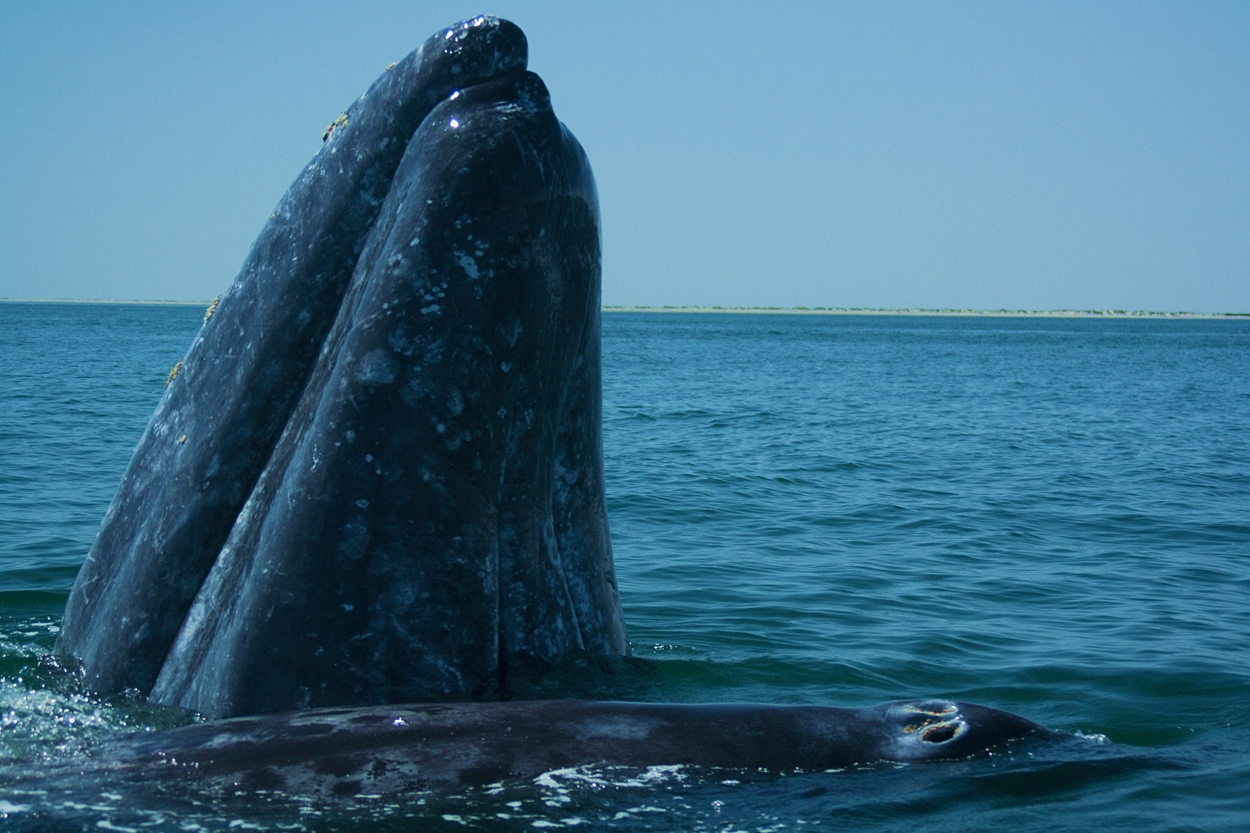 Whale Season in Full Swing in Baja