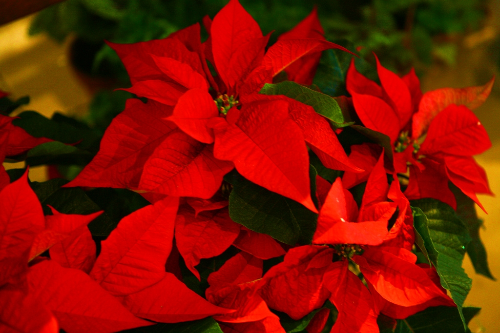 The Story of a ChristmasFlower