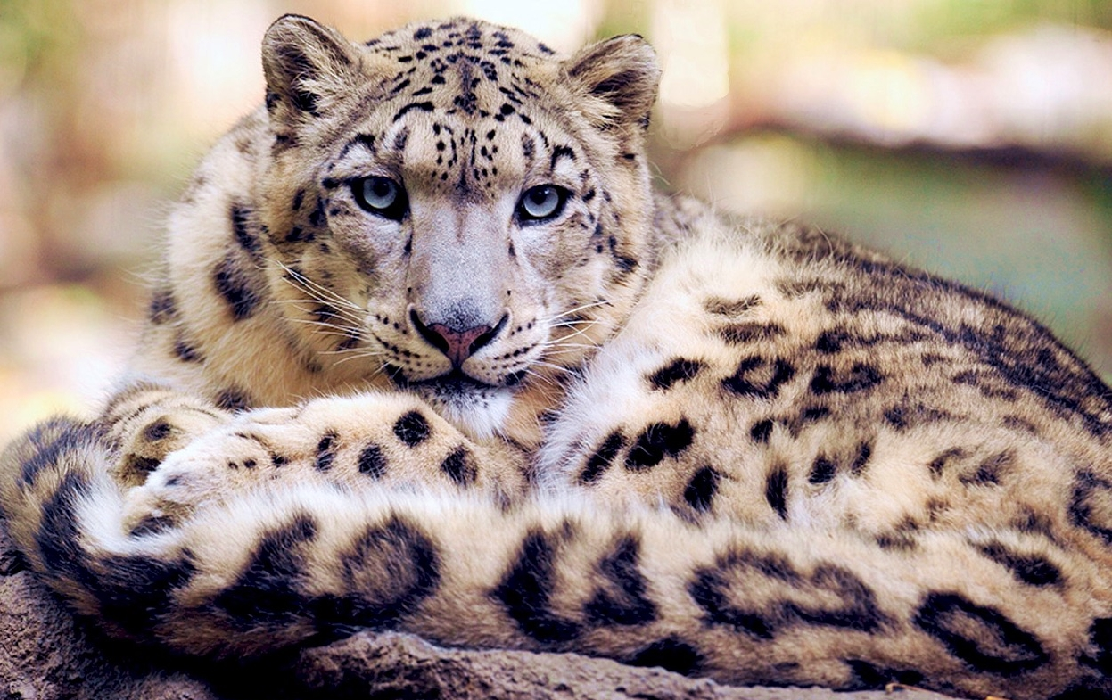 Snow Leopards Claw Their Way off the Endangered SpeciesList