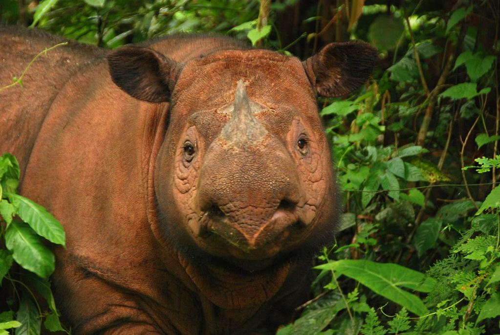 The Precarious Fate of the Sumatran Rhino