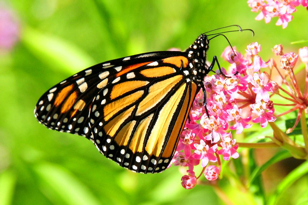 Monarch Butterflies Register Spike in Numbers