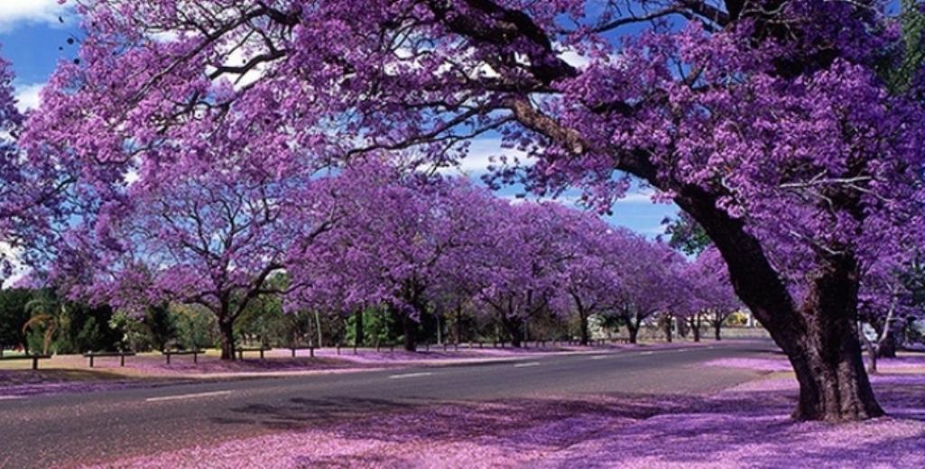 Jacarandas Welcome Springtime in MexicoCity