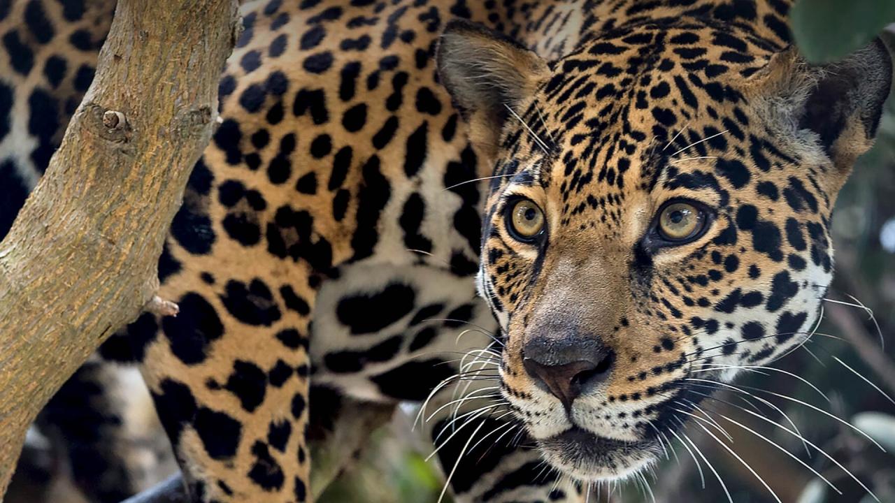 First International Jaguar DayObserved