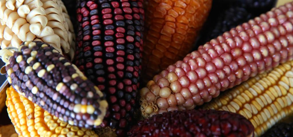 In Praise of Maize